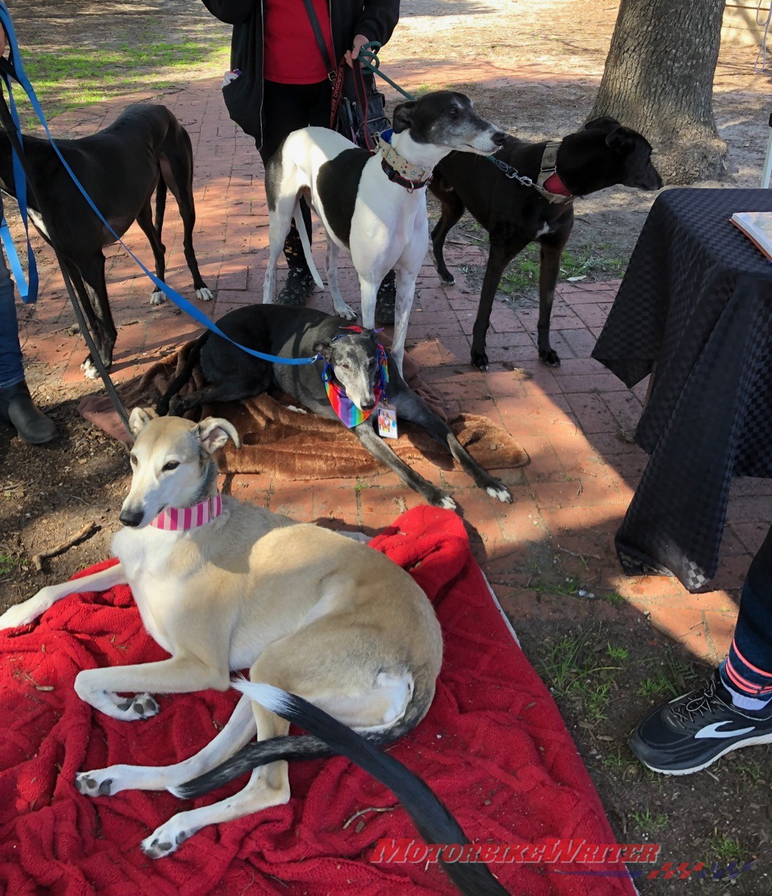 Annie Hendley Motorcycle Ride for Gumtree Greys Rescue greyhounds